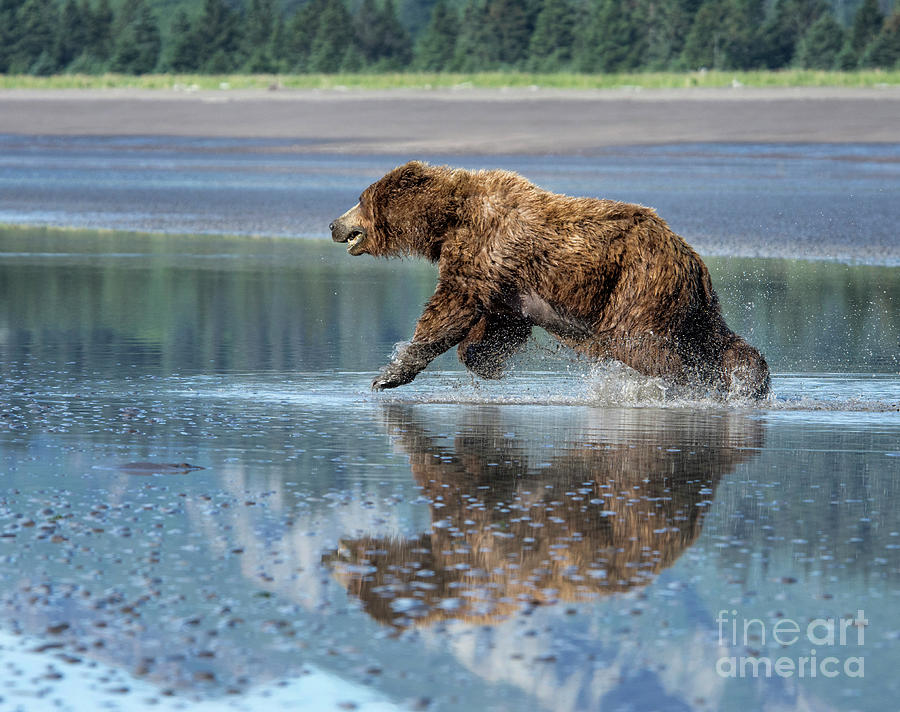 Grizzly Bear Photograph - On The Run by Claudia Kuhn