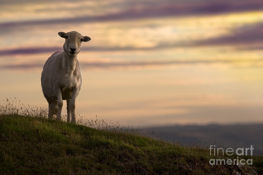 Sheep Photograph - On The Top Of The World by Angel Ciesniarska