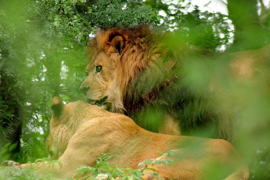 Lion Photograph - On Watch by ShadowWalker RavenEyes Dibler