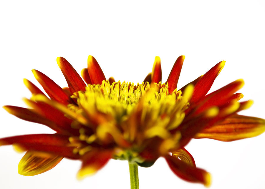 Flower Photograph - One Flower by Svetlana Sewell