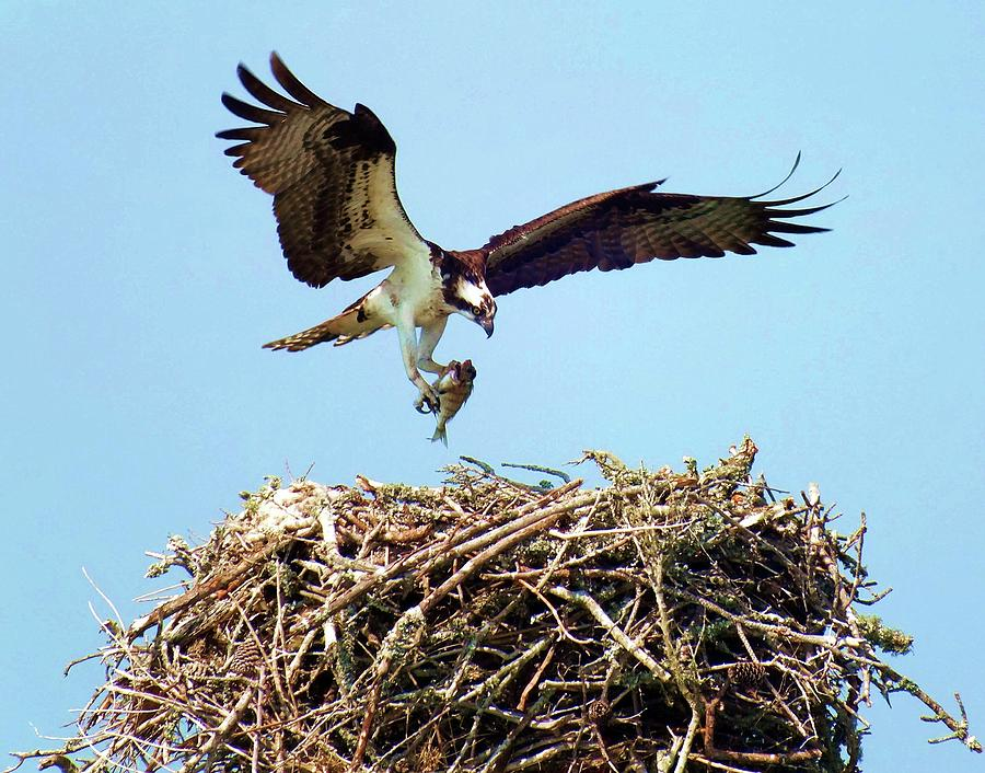 Osprey Photograph - Open Wings by Karen Wiles