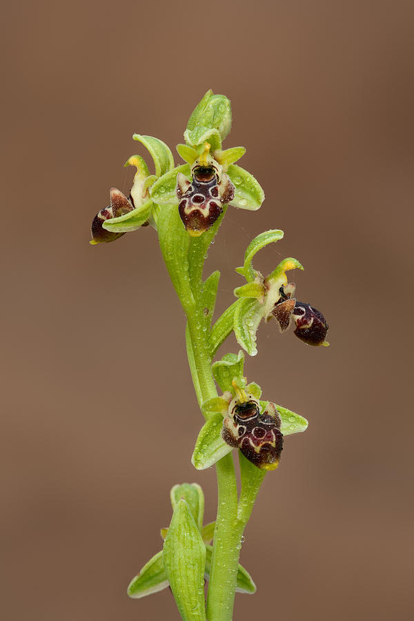 Orchid Photograph - Ophrys Carmeli by Yuri Peress