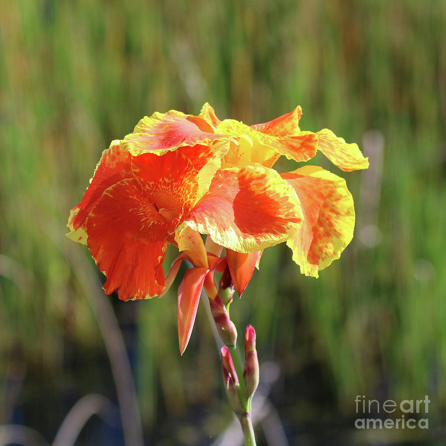 Orange And Yellow Canna Lily Photograph By Kerry Fischel