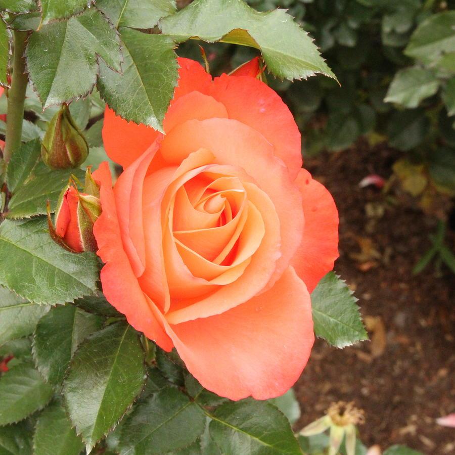 Orange Delight by Linda Ritlinger