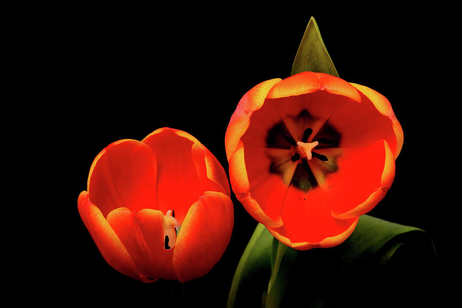 Tulip Photograph - Orange Tulip Macro by Paul Moore