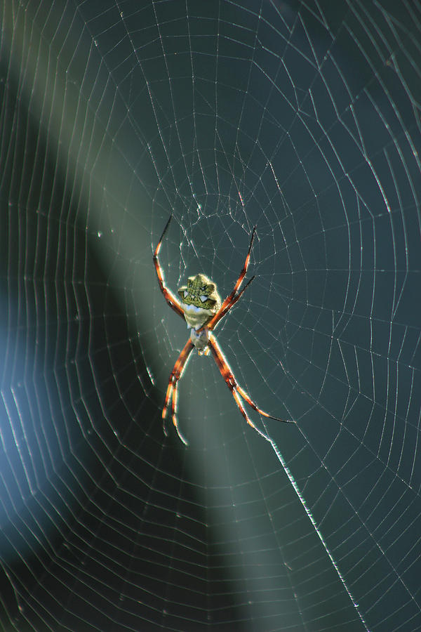 Orb Weaver Spider Photograph - Orb Weaver Spider And Web by Robert Hamm