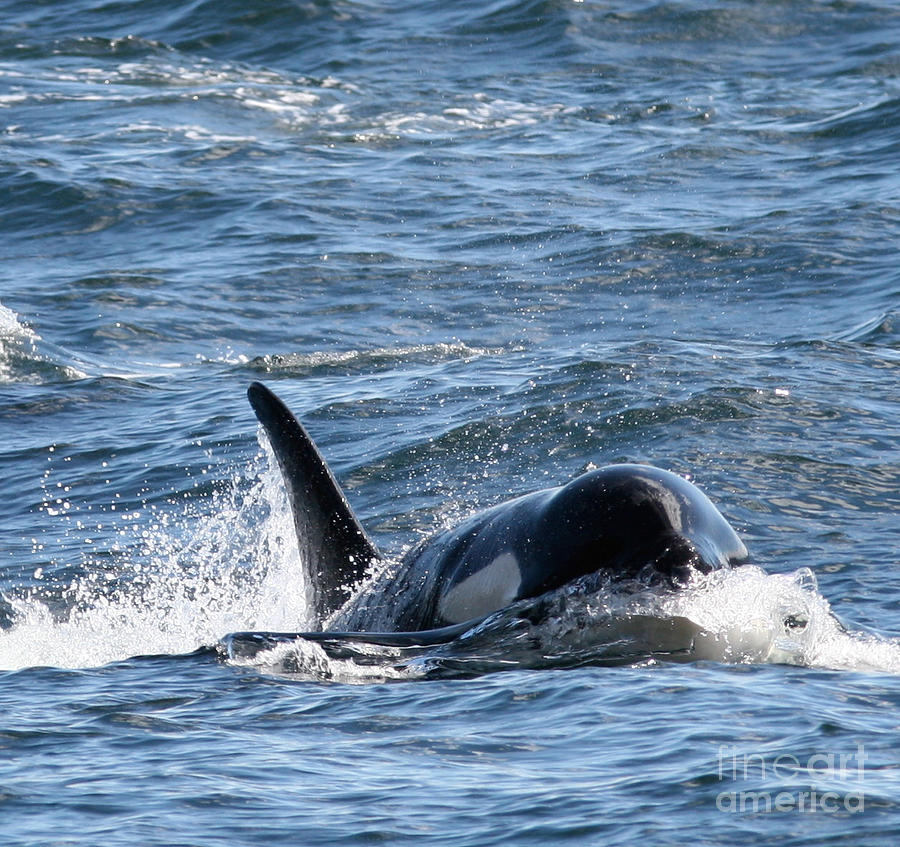 Orcas Photograph - Orca Whales In The San Juan Islands by Sandy Buckley