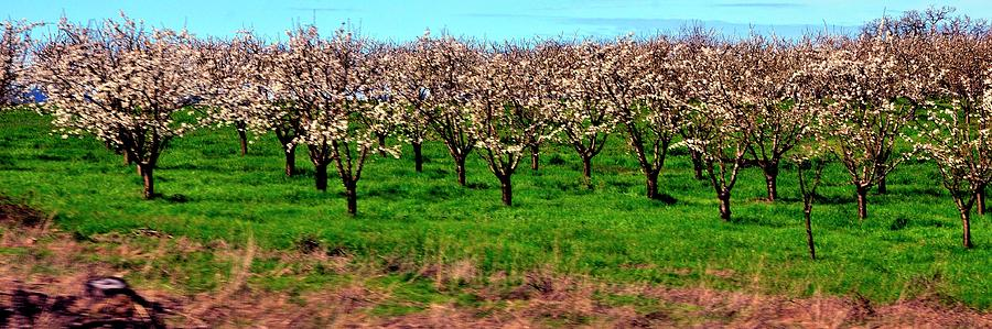 Orchard 316 Photograph