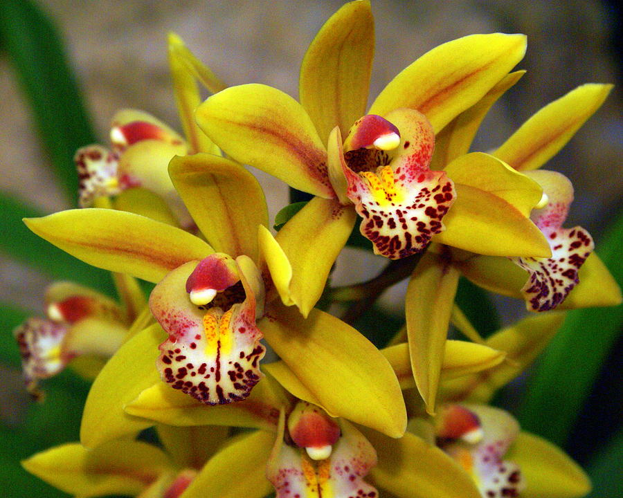 Flower Photograph - Orchid 9 by Marty Koch