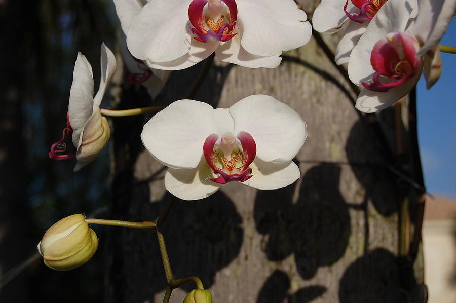 Orchids In Miramar Photograph by Joe Perdomo