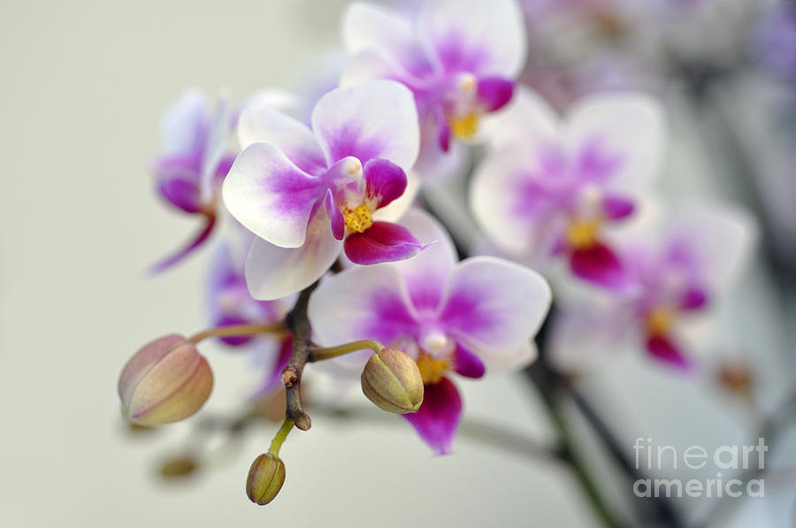Orchid Photograph - Orchids by LS Photography