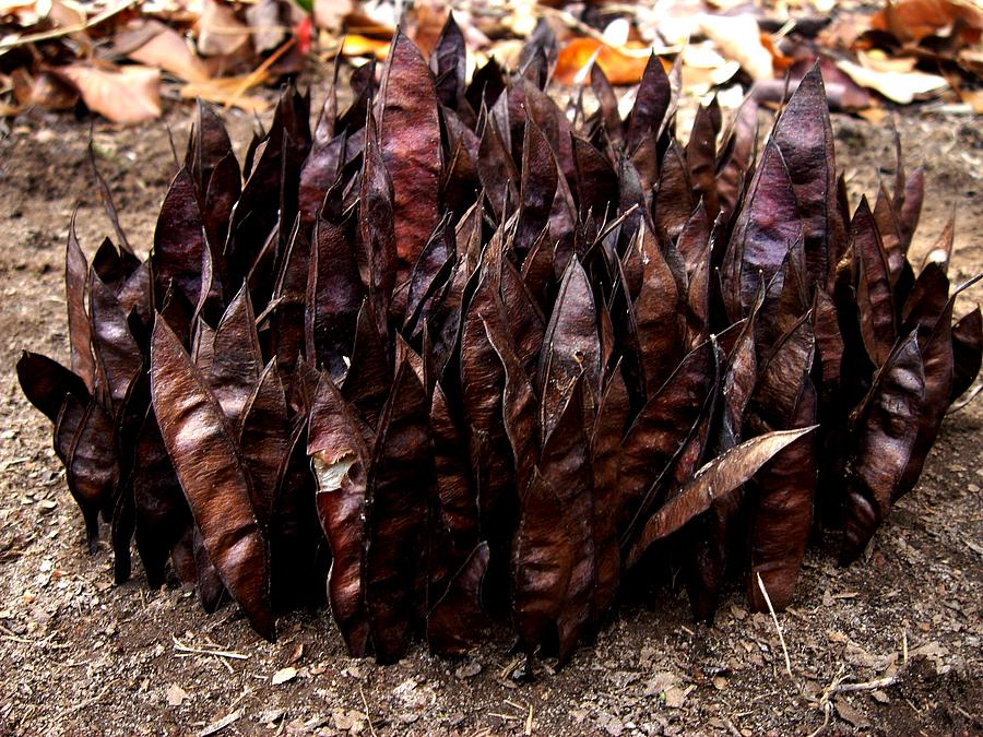 Seeds Photograph - Organize Brown Pods by Lizzie  Johnson