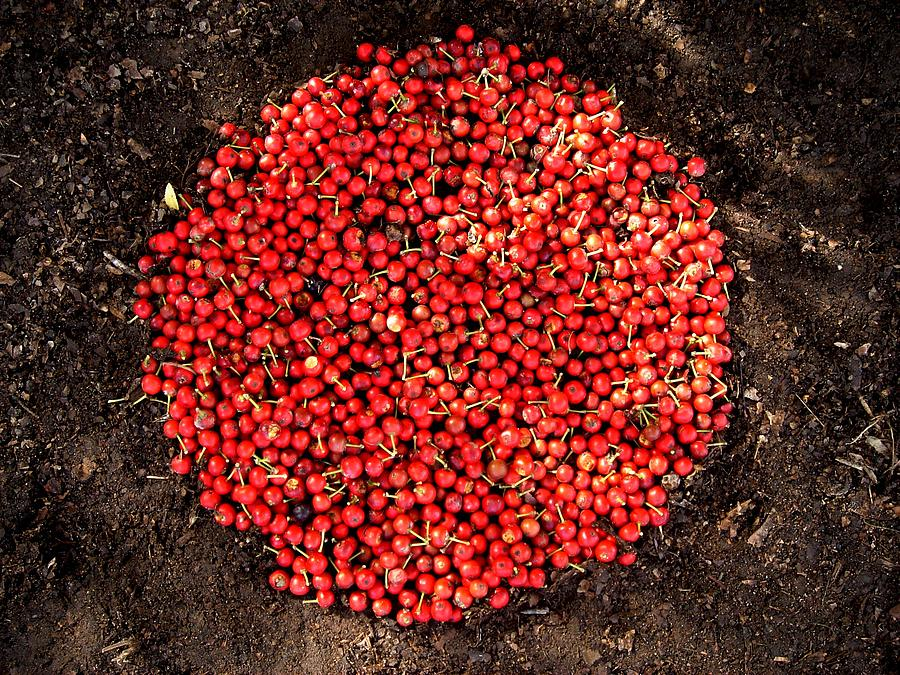 Red Berries Photograph - Organize Red Berries by Lizzie  Johnson