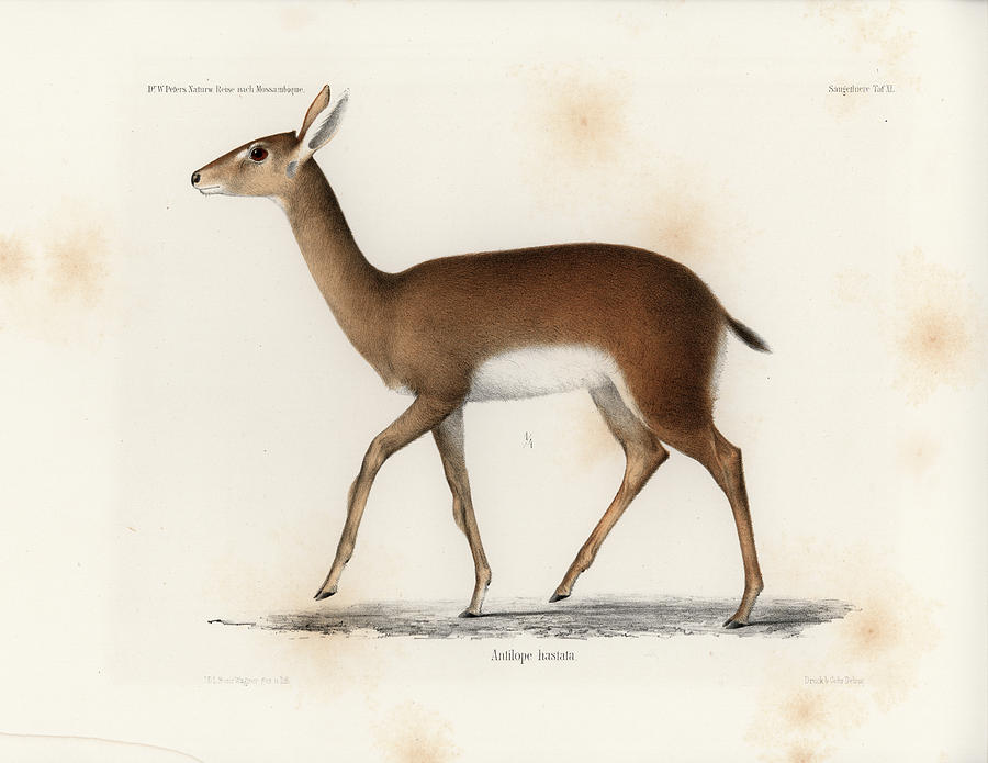 Oribi, a small African Antelope by J D L Franz Wagner