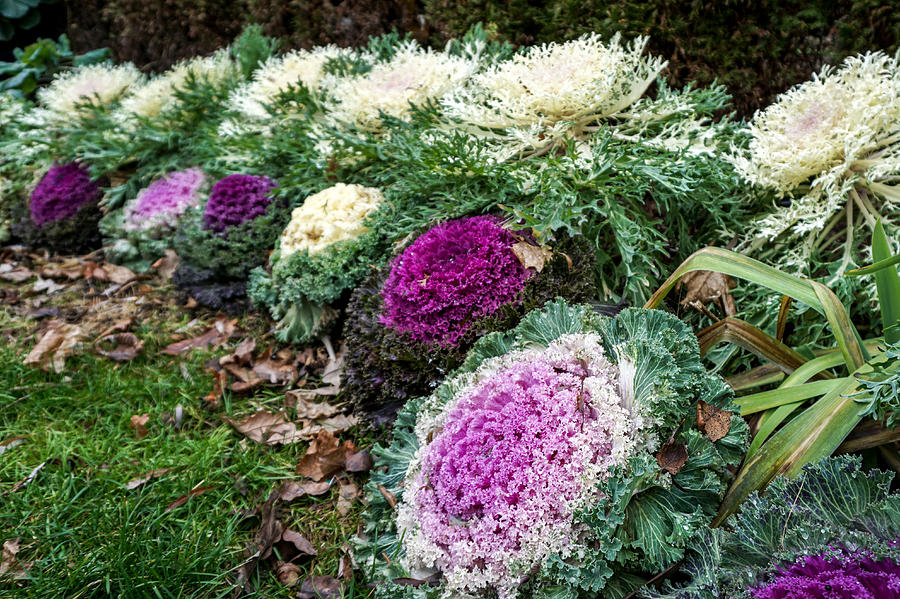 Ornamental Cabbage And Kale Photograph By Nick Mares
