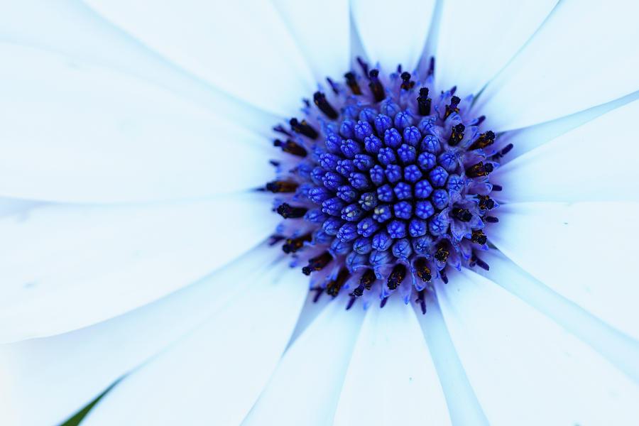 Osteospermum white flower blue center photograph by mike fusaro cape daisy photograph osteospermum white flower blue center by mike fusaro mightylinksfo