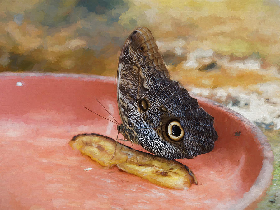Owl butterfly 2 by Paul Gulliver