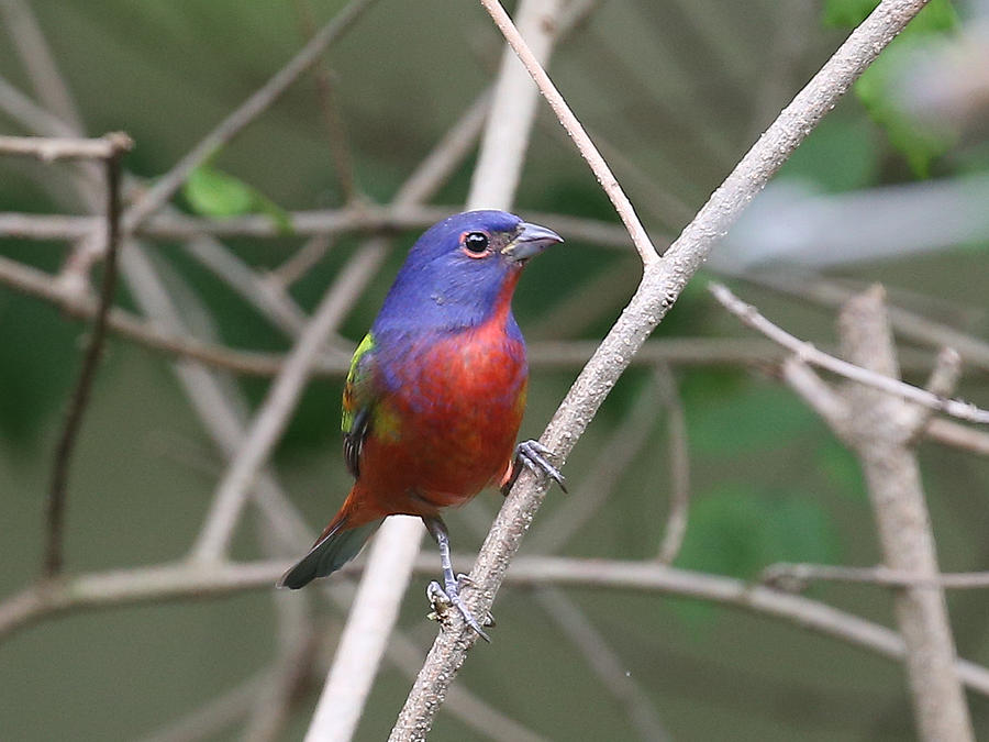 Painted Bunting Photograph by Dart and Suze Humeston