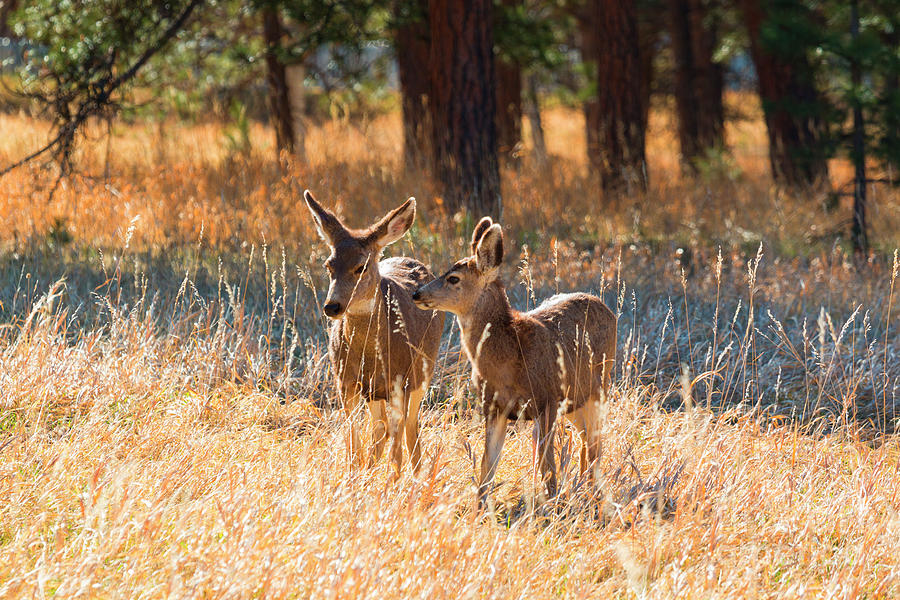 Pair Of Mule Deer Photograph