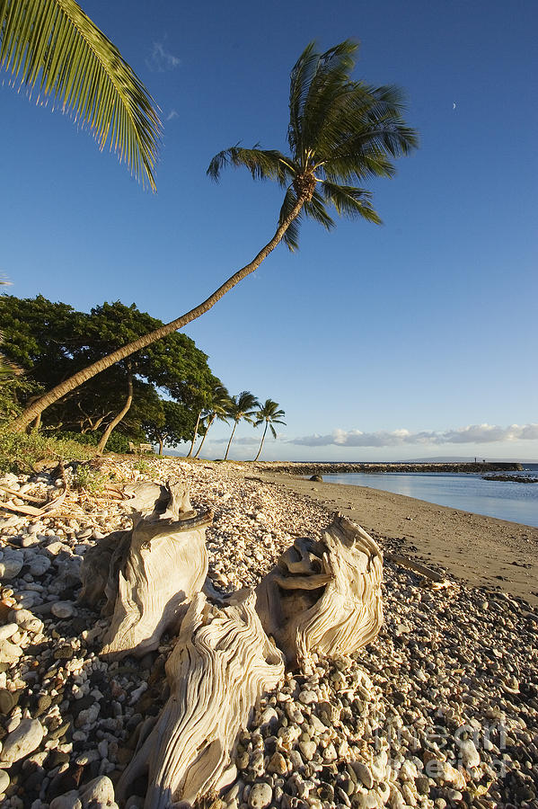 Afternoon Photograph - Palm And Driftwood by Ron Dahlquist - Printscapes