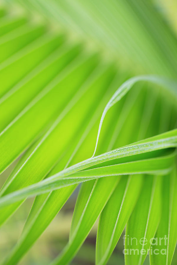 Palm Leaf Detail by Charmian Vistaunet