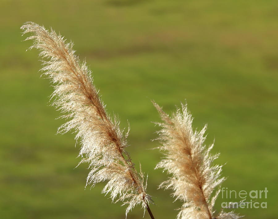 Pampas Grass by Henrik Lehnerer