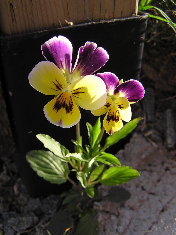 Flower Photograph - Pansy Out Of Cement by Richard Mitchell