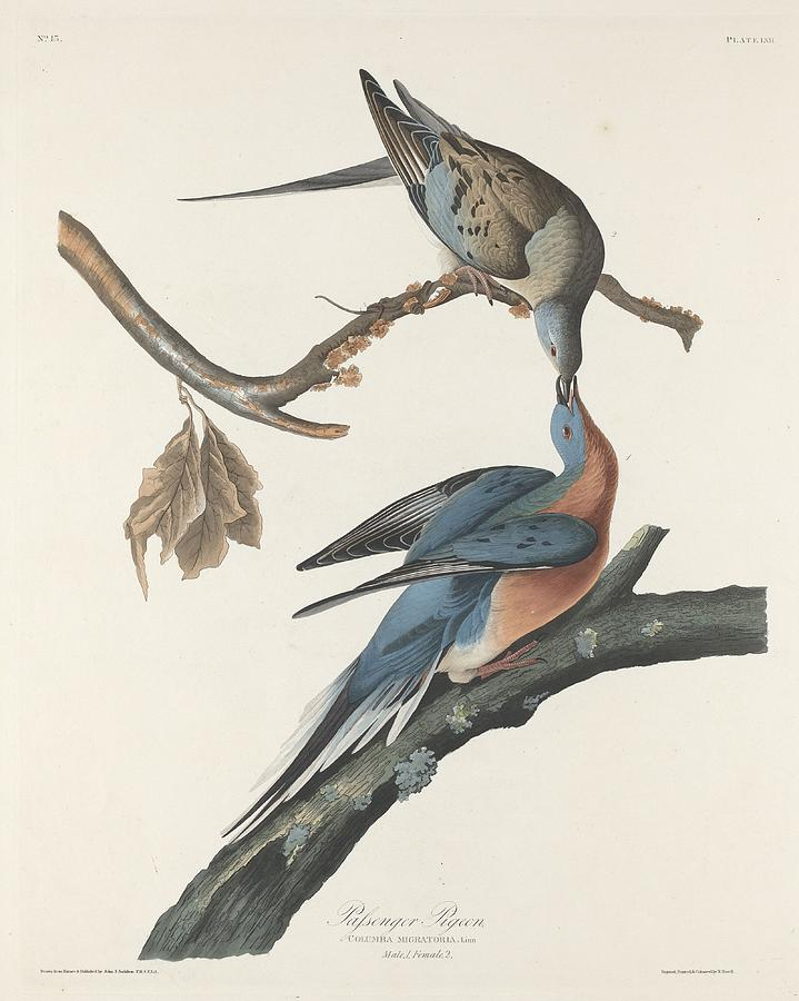 Audubon Drawing - Passenger Pigeon by Dreyer Wildlife Print Collections