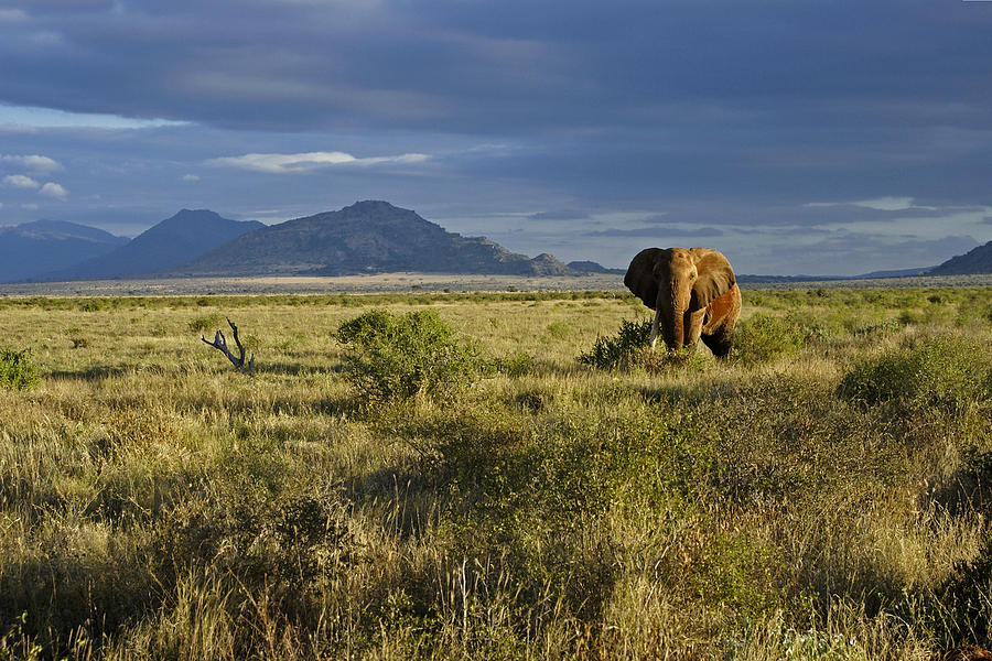 Africa Photograph - Patriarch Of The Plains by Michele Burgess