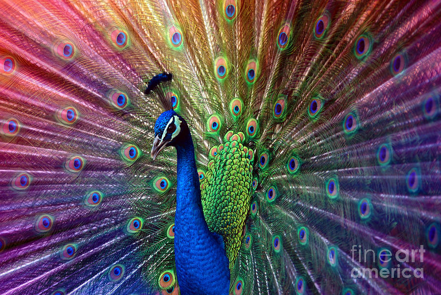 Beauty Photograph - Peacock by Hannes Cmarits