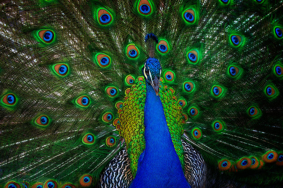 Peacock by Harry Spitz
