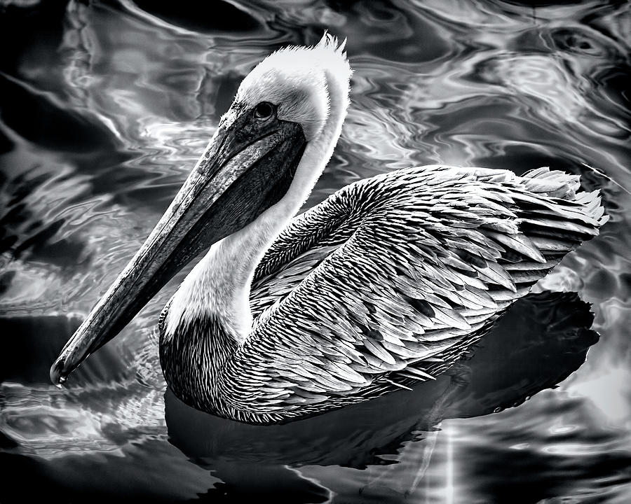 Pelican by Andrew Chianese