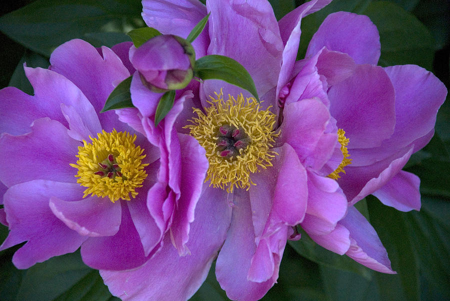 Flowers Photograph - Peonies by Jessica Wakefield