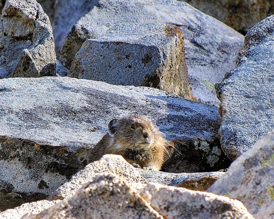 Pika Photograph - Mountain Pika by Don Siebel