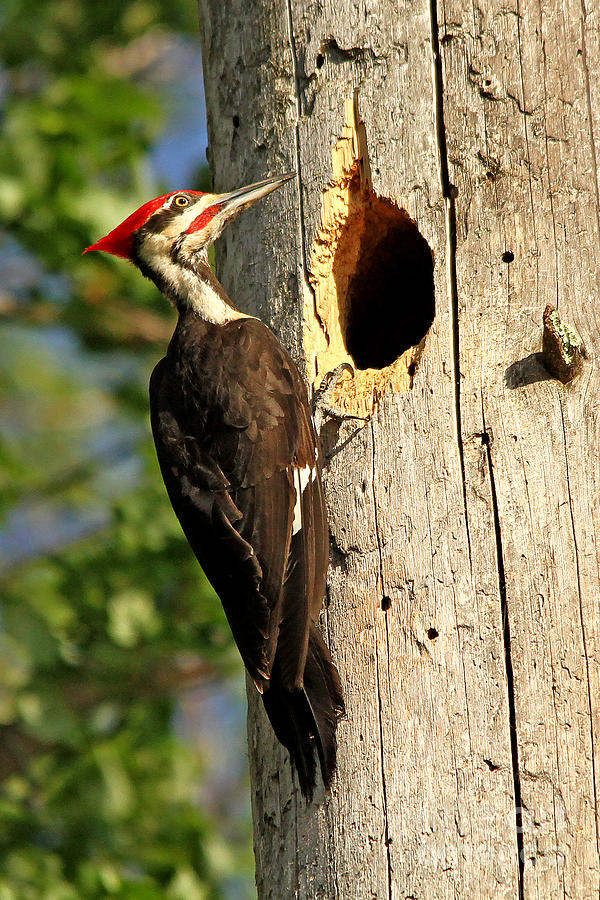 Woodpecker Photograph - Pileated #26 by James F Towne