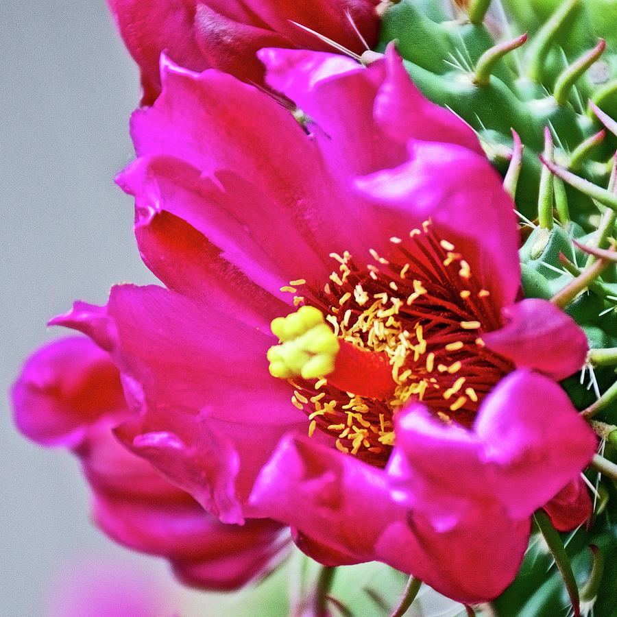 Pink Cactus Flower At Pilgrim Place In Claremont California