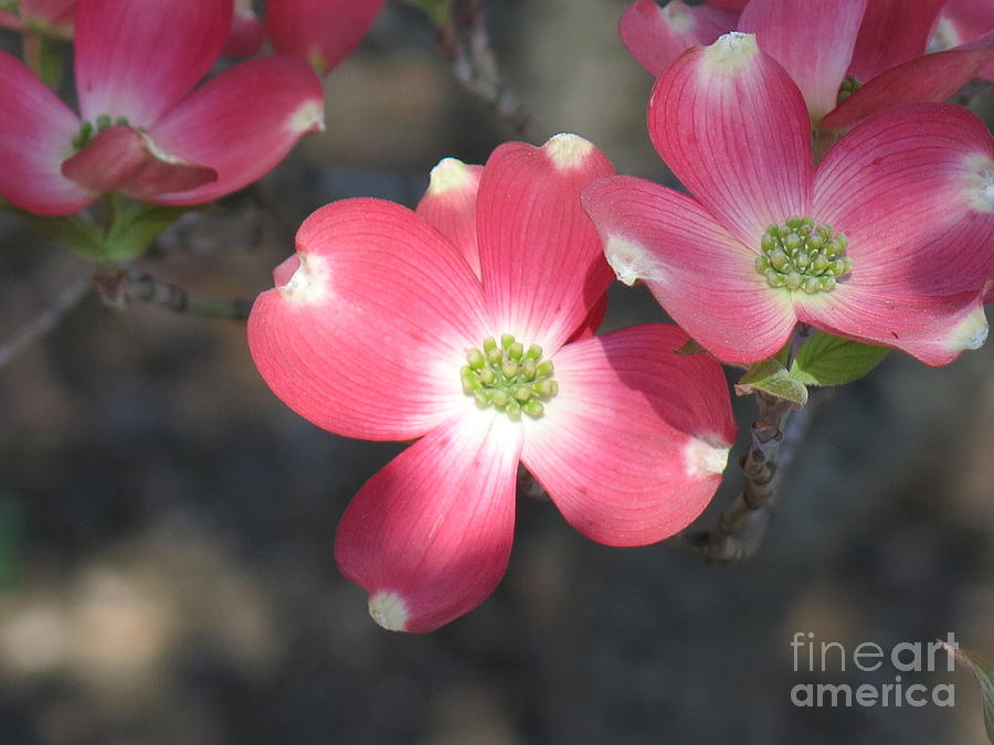 Pink Photograph - Pink Dogwood by Rod Ismay