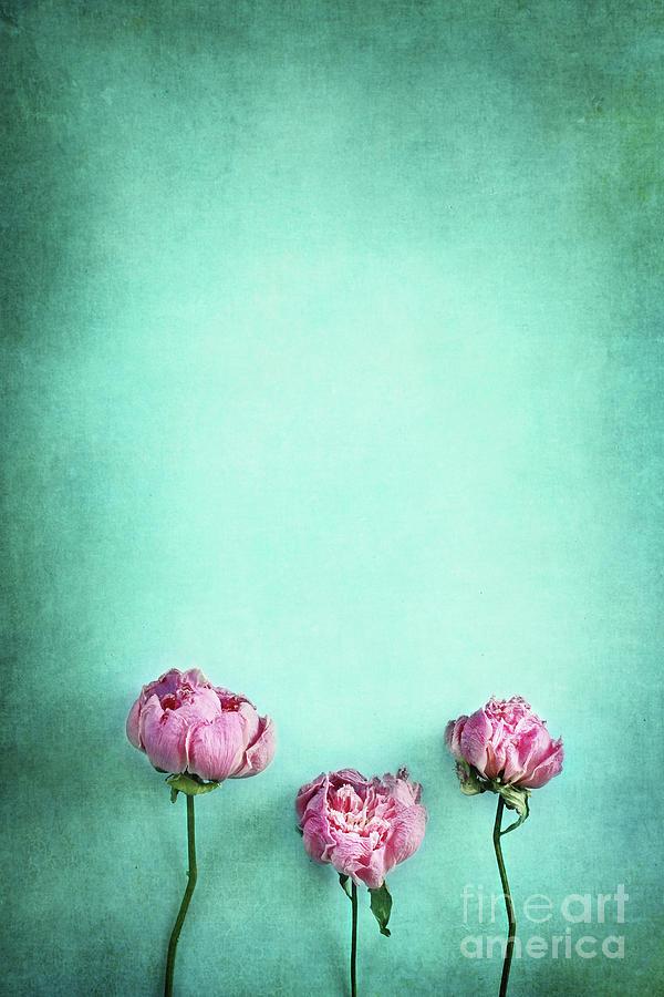Peony Photograph - Pink Peonies  by Stephanie Frey