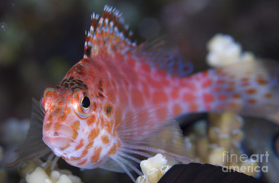 Osteichthyes Photograph - Pixy Hawkfish, Kimbe Bay, Papua New by Steve Jones