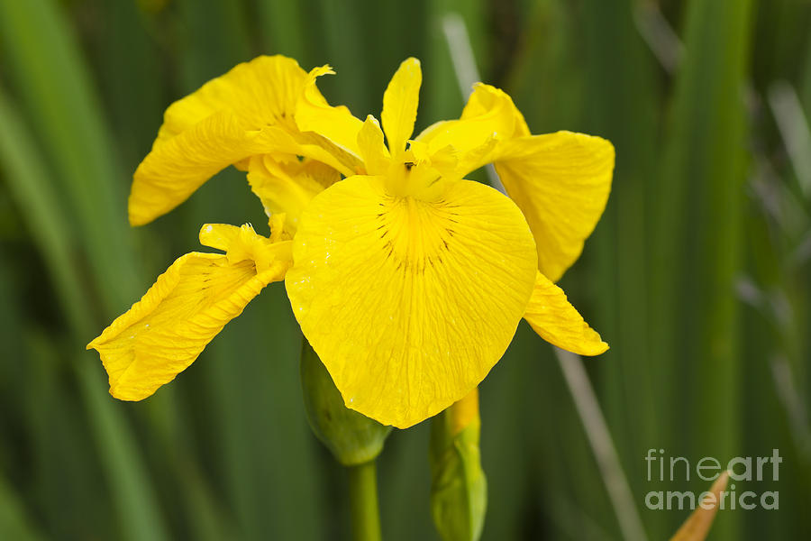 Wild Flower Photograph - Plant Wild Flower Yellow Flag  Iris Pseudacorus by Hugh McKean