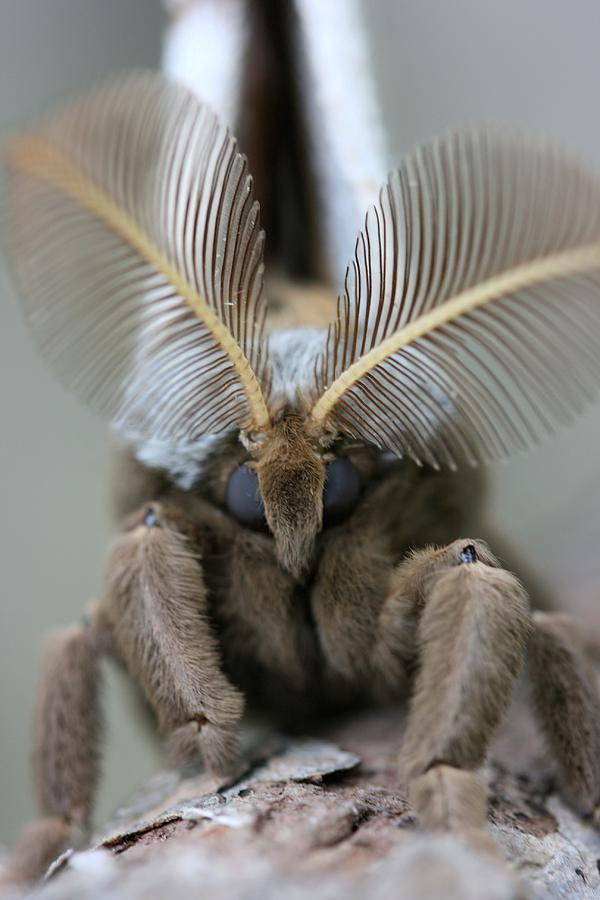 Insect Photograph - Polyphemus Moth by Betsy LaMere