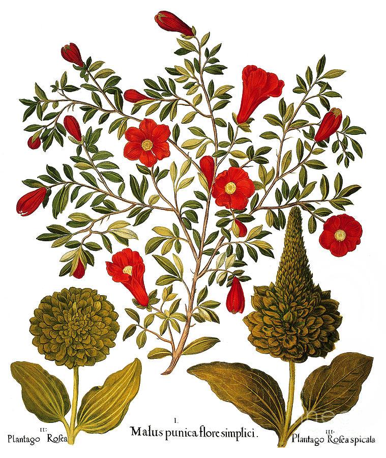 Basilius Photograph - Pomegranate, 1613 by Granger