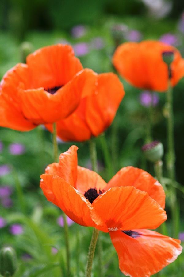Poppy Photograph - Poppies by Melanie Beasley