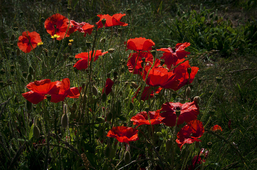 Flowres Photograph - Poppies by Svetlana Sewell