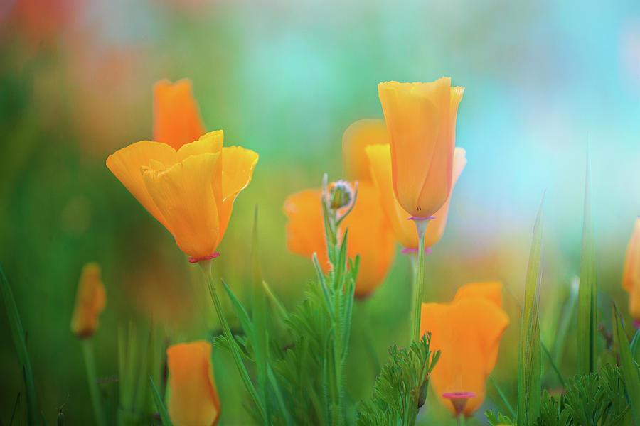 Poppy Dreams by Lynn Bauer