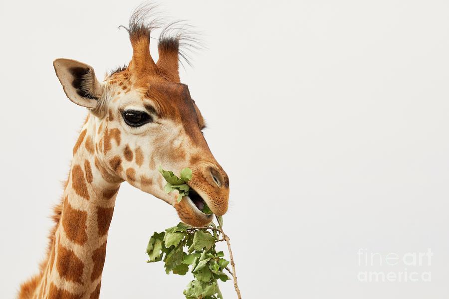 Portrait of a Rothschild Giraffe  by Nick Biemans