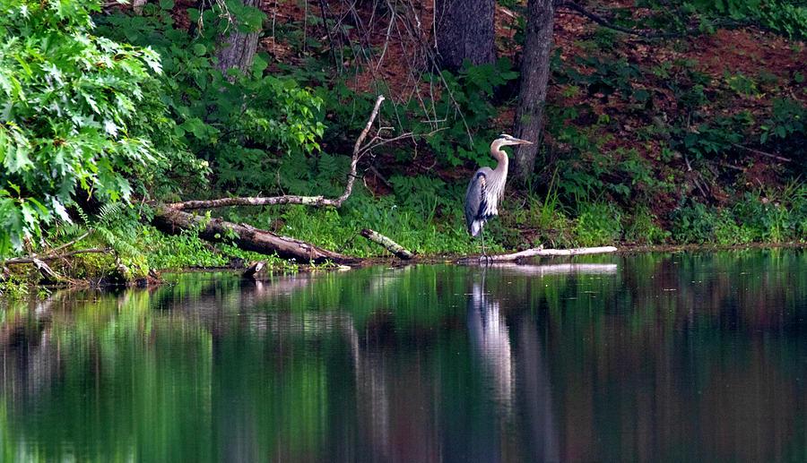 Posing Great Blue Heron  by Betty Pauwels