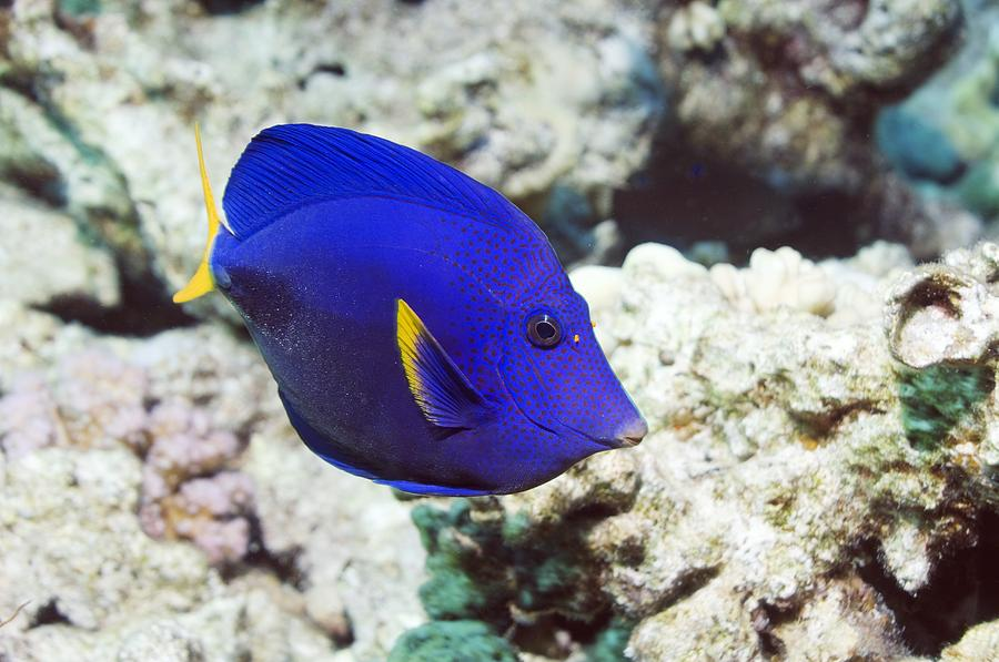 Purple Tang Photograph - Powder-blue Tang by Georgette Douwma