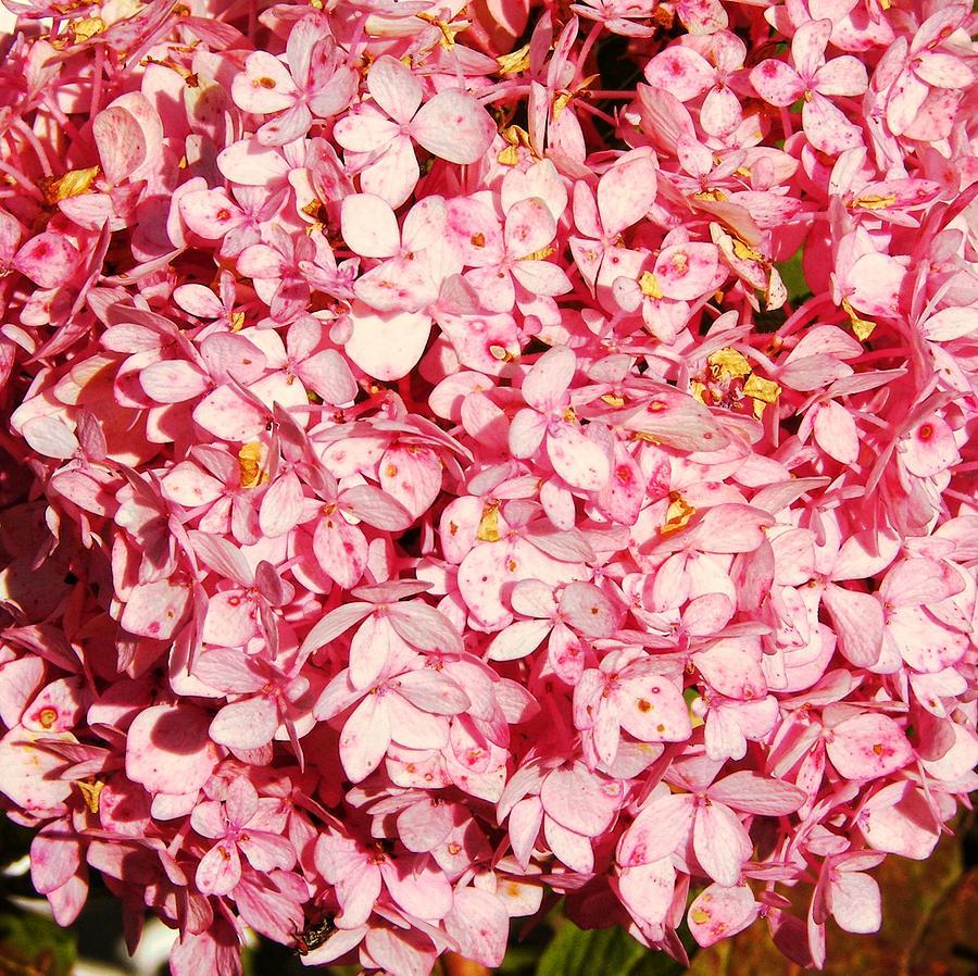 Flower Photograph - Prettiest Pink by JAMART Photography