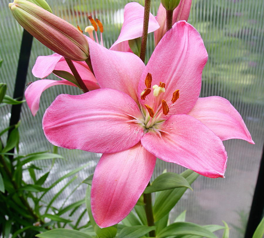 Lilies Photograph - Pretty In Pink by Kevin F Cook